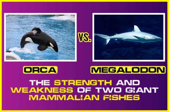 Orca vs. Megalodon