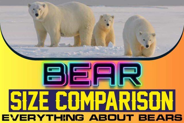 Bear Size Comparison