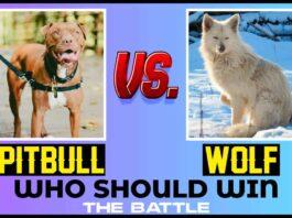 Pitbull vs. Wolf Who Should Win