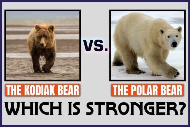 The Kodiak Bear Vs. The Polar Bear